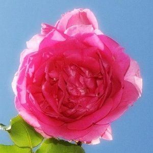 Rose Glow Complexion Mist