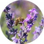 Lavender Essential Oil - Living Libations