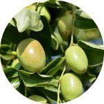 Jojoba Organic Oil - Living Libations