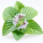 Peppermint Essential Oil - Living Libations