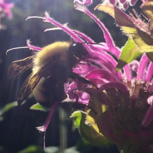 Bee Balm Essential Oil - Living Libations