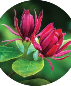 AllSpice Essential Oil - Living Libations
