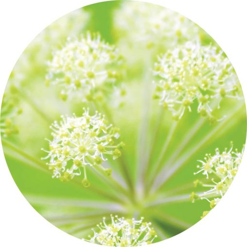 Angelica Root Essential Oil - Living Libations