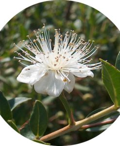 Anise Myrtle Essential Oil - Living Libations