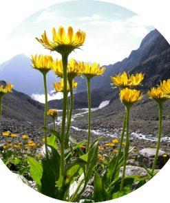 Arnica Flower Carrier Oil - Living Libations