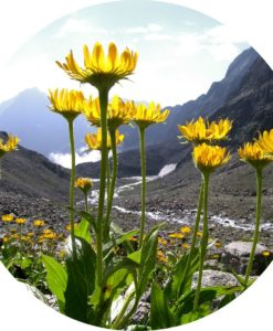 Arnica Flower Carrier Oil - Living Libations