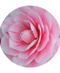 Camellia Carrier Oil - Living Libations