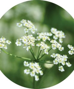 Caraway Essential Oil - Living Libations