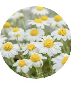 Chamomile Essential Oil - Living Libations