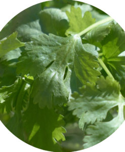 Coriander Essential Oil - Organic and Natural - Living Libations
