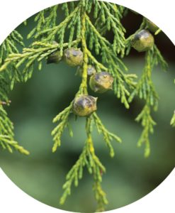 Cypress Essential Oil - Living Libations