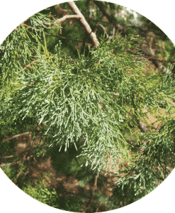 Cypress Leaf White Essential Oil - Living Libations