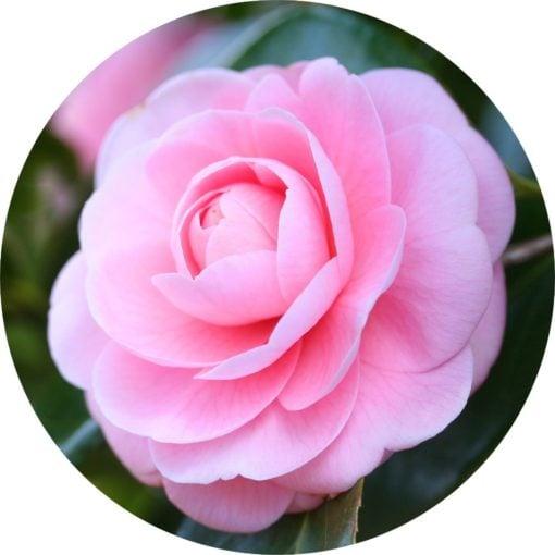 Living Libations Camellia Carrier Oil