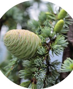 Living Libations - Cedar French Essential Oil