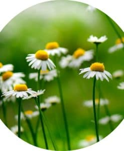 Living Libations - Chamomile German Blue Essential Oil