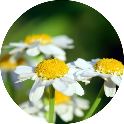 Chamomile Wild Moroccan Essential Oil Living Libations
