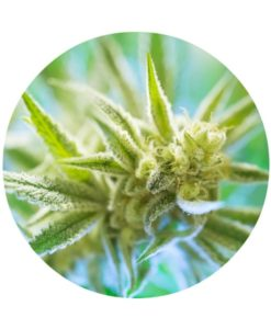 Hemp Blossom Essential Oil