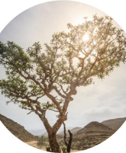 Living Libations - Sacred Frankincense Essential Oil