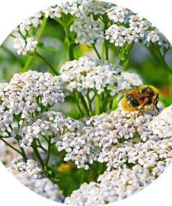 Living Libations - Yarrow Essential Oil