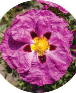 Rock Rose Essential Oil - Living Libations
