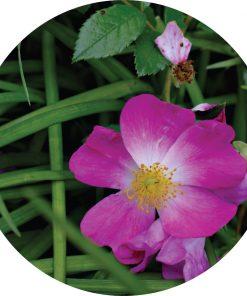 Roses Over Vetiver Essential Oil - Living Libations