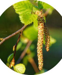 Sweet Birch Essential Oil - Living Libations