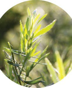 Tarragon Essential Oil | Living Libations