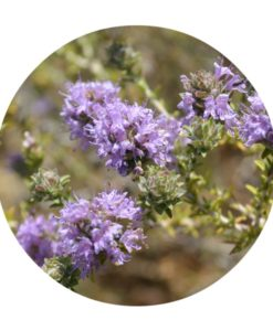 Thyme Essential Oil - Living Libations