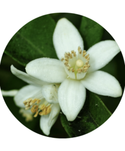 Orange Blossom Absolute - Living Libations