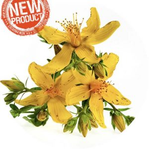 Saint John's Wort Essential Oil - Living Libations