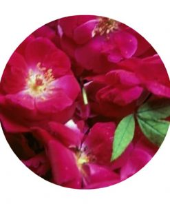 Living Libations - Rose Attar Essential Oil