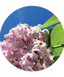 Lilac Blossoms Essential Oil - Living Libations