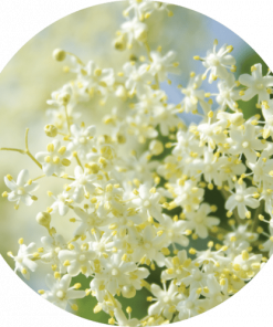 Living Libations Elderflower Essential Oil
