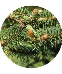 White Fir, Christmas Tree Distillation - Living Libations