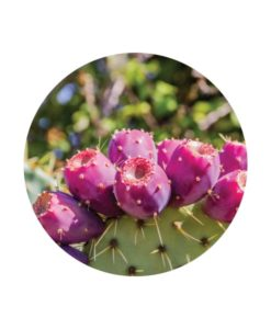 Prickly Pear carrier oil 1 - Living Libations