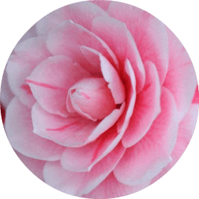 Living Libations - Camellia Carrier Oil