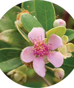 Living Libations - Australian Rose Essential Oil