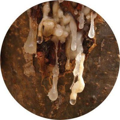 Living Libations - Royal Hojari Frankincense