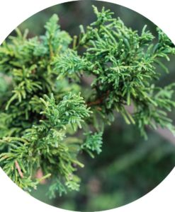 Living Libations - Cypress Hinoki Essential Oil