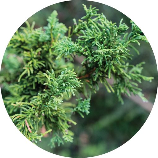 Living Libations - Cypress Hinoki Essential Oil