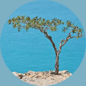 Frankincense | Boswellia carterii