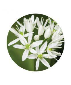 Garlic essential Oil - Living Libations