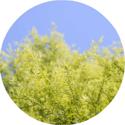 Living Libations -Tea Tree Essential Oil