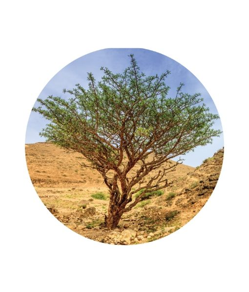 green hojari frankincense -living libations 1