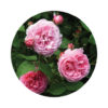 Living Libations - Rose Bourbon Absolute