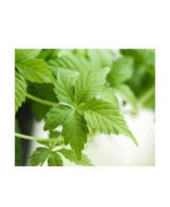 Na´Vi Organics - Premium Quality Jiaogulan Gynostemma Loose Tea2