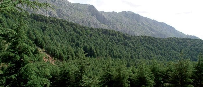 Various Cedars - Botanical and Essential Oils - Living libations