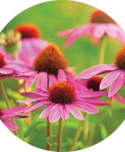 Living Libations - Echinacea Essentia Oil