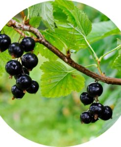 Black Currant Absolute - Living Libations