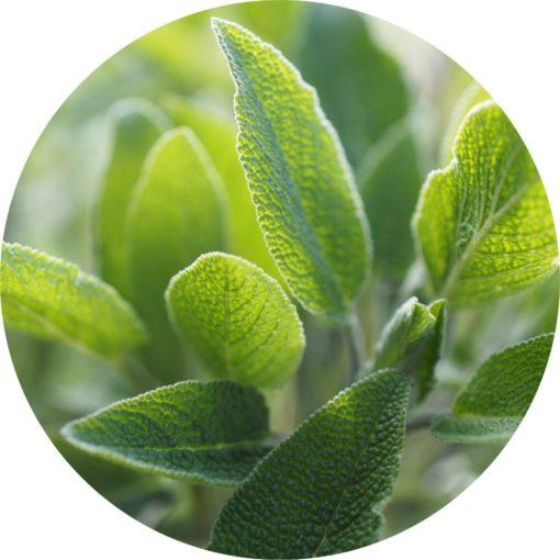 Living Libations - Sage Essential Oil